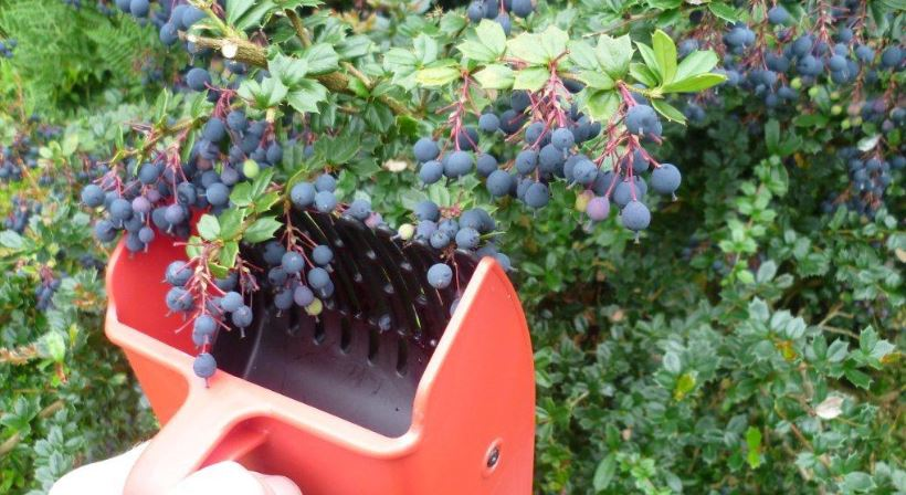 Darwins Barberry fruit start with D